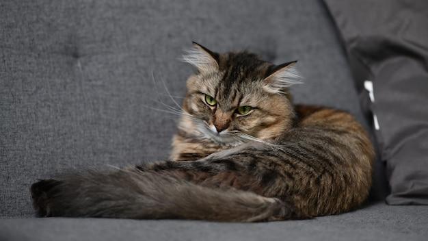 Eine faule fette katze, die auf dem bequemen sofa im wohnzimmer schlafend liegt.