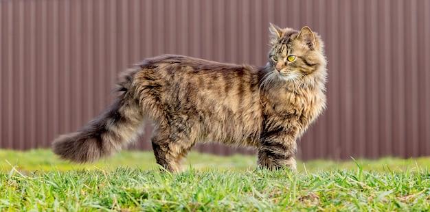 Eine flauschig gestreifte katze steht im gras und schaut zurück