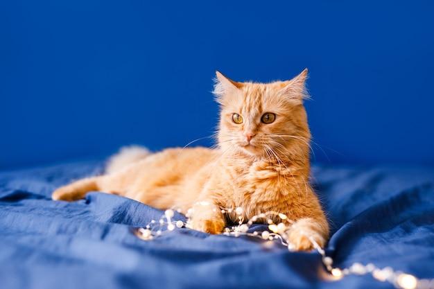 Eine flauschige ingwerkatze sitzt auf dem bett und wäscht sich auf blauem hintergrund mit einer weihnachtsgirlande.