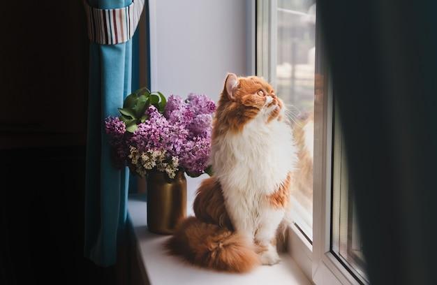 Eine flauschige ingwerkatze sitzt auf einer fensterbank und schaut aus dem fenster. ingwer langhaarige katze auf einem hintergrund eines lila blumenstraußes.