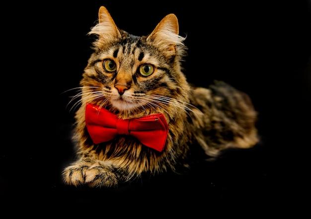 Eine flauschige und gestreifte katze mit einem roten schmetterling im nackenlook. porträt eines haustieres auf einem schwarzen hintergrund. die idee eines eleganten herrn in form einer katze.