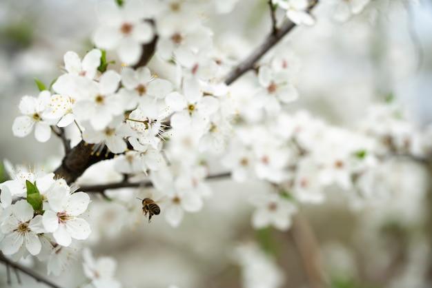 Eine fleißige biene sammelt honig auf den schönen blumen der wilden pflaume an einem sonnigen, warmen frühlingstag.