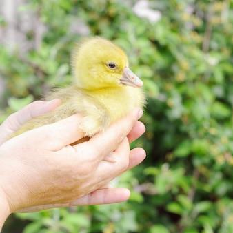 Eine frau hält ein kleines entlein in den händen. bauernhofvögel, jungen.