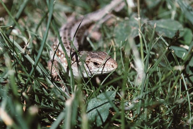 Eine garteneidechse versteckt sich im grünen gras