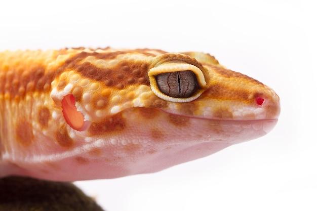 Eine geerntete ansicht eines gelben und orange beschmutzten leopardgeckos auf weiß