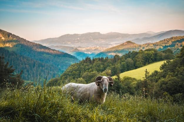 Eine gehörnte ziege auf dem aufstieg zum monte adarra in urnieta bei san sebastian. gipuzkoa, baskenland