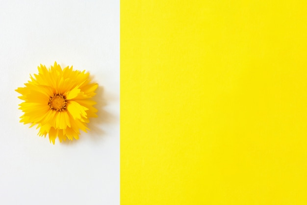 Eine gelbe coreopsisblume auf weißem und gelbem papierhintergrund