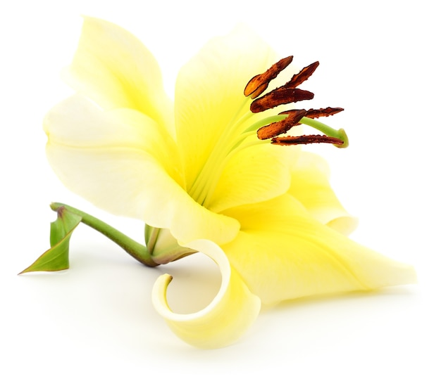 Eine gelbe lilie isoliert