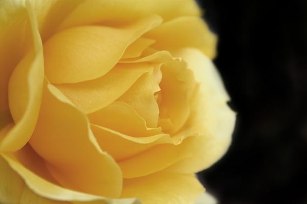 Eine gelbe rose auf dunklem hintergrund