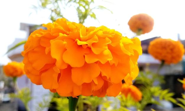 Eine gelbe und orange ringelblume blüht im garten