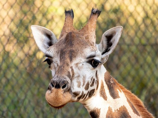 Eine giraffe (giraffa camelopardalis) während des tages.