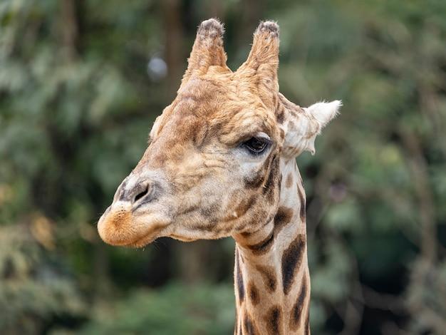 Eine giraffe (giraffa camelopardalis) während des tages