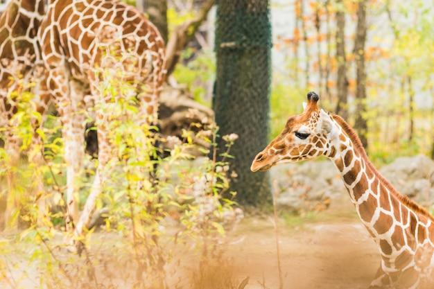 Eine giraffe im freien während des sommers