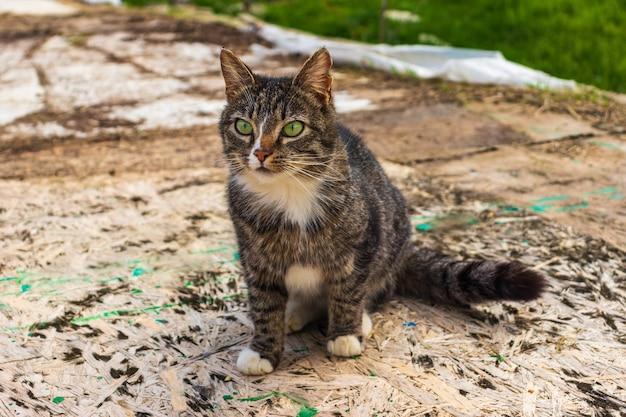 Eine grau getigerte streunende katze sitzt auf dem rasen. porträt einer schönen streunenden katze auf freiem fuß.