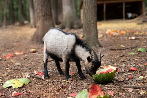 Eine graue babyziege mit hörnern isst eine wassermelone. steinbock