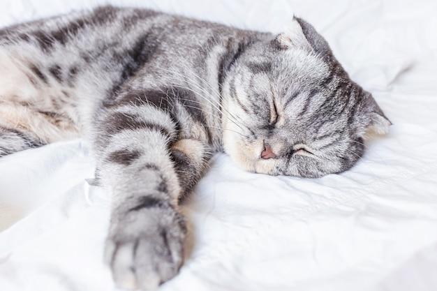 Eine graue schottische faltenkatze schläft auf einem bett in einem laken. das konzept der haustiere, komfort, haustierpflege, katzen im haus zu halten. lichtbild, minimalismus, copyspace.