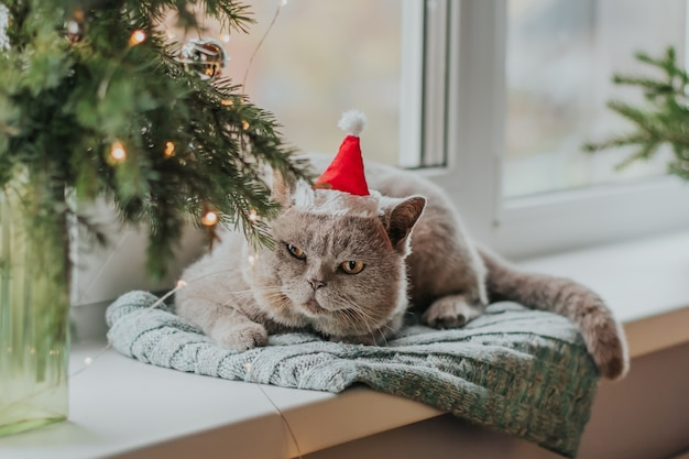 Eine graue schottische katze in einer weihnachtsmannmütze sitzt auf einer strickmatte am fenster neben einem ast eines weihnachtsbaumes.
