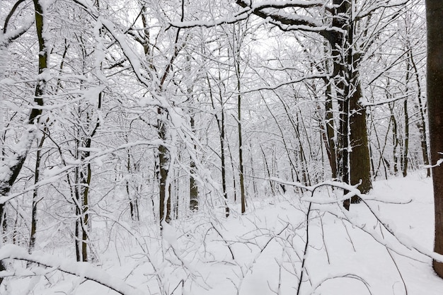 Eine große anzahl kahler laubbäume in der wintersaison, die bäume sind nach frösten und schneefällen mit schnee bedeckt, schneeverwehungen im park oder winterwald, es werden fußspuren im schnee sein Premium Fotos