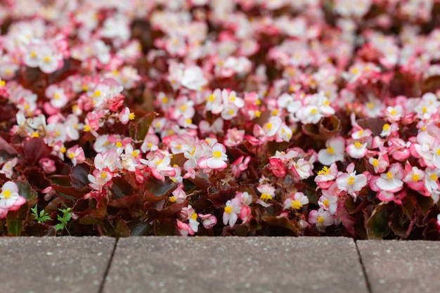Eine große anzahl schöner weißer und rosa blüten im blumenbeet als floraler hintergrund. schöne blume abstrakten hintergrund der natur.