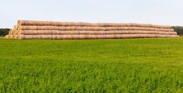 Eine große anzahl von auf dem feld liegenden zylindrischen stapeln wird für den winter zu einer großen lagerstruktur zusammengefasst