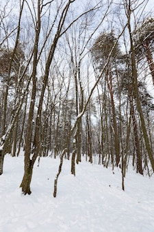 Eine große anzahl von kahlen laubbäumen in der wintersaison