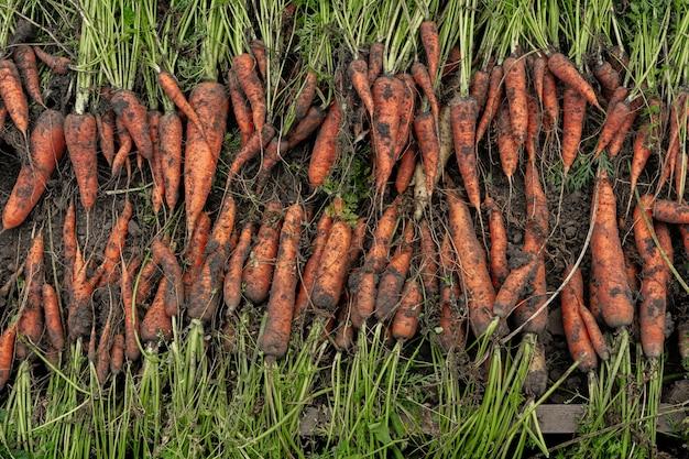 Eine große ernte von karotten wird in reihen gestapelt. karotten-rohlinge.