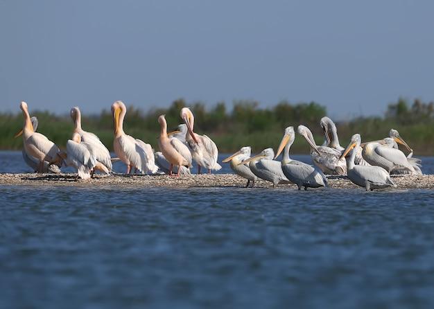 Eine große gruppe dalmatinischer pelikane ruht auf einer sandbank im donaudelta in vilkovo. normalerweise können sie hier nur einzelne vögel sehen.