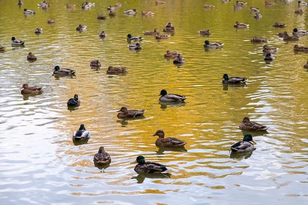 Eine große herde brauner enten schwimmt im teich