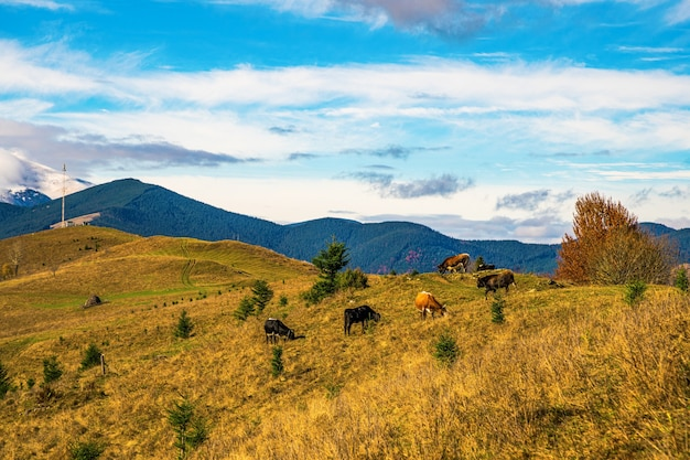 Eine große kuhherde weidet auf der wiese und frisst gras vor der kulisse der wunderschönen natur der karpaten