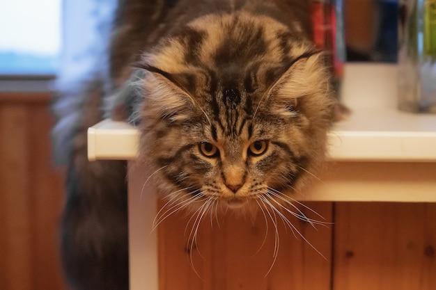 Eine große maine coon katze liegt im warmen sonnenlicht auf der fensterbank und entspannt sich