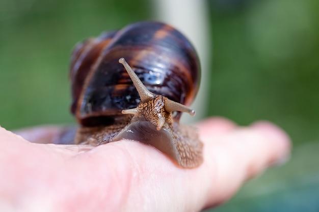 Eine große schnecke an einer menschlichen hand. haustier, kosmetologie und nützliche eigenschaften. eine schnecke aus der familie der helicidae. luftatmende gastropoden.