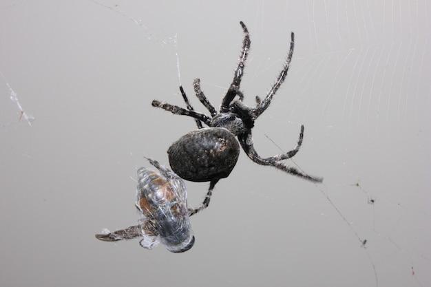 Eine große schwarze spinne fing eine fliege.