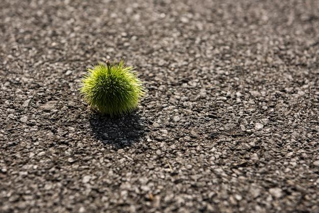Eine grüne japanische kastanie (castanea crenata, kuri) allein auf dem asphalt in niedriger ansicht.