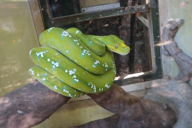 Eine grüne python, die verzweifelt nach ihrem leben sucht, ist verärgert
