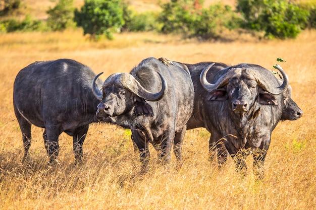 Eine gruppe afrikanischer büffel im masai mara nationalpark, wilde tiere in der savanne. kenia
