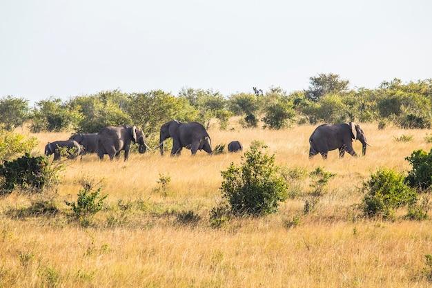 Eine gruppe afrikanischer elefanten im masai mara nationalpark, wilde tiere in der savanne. kenia