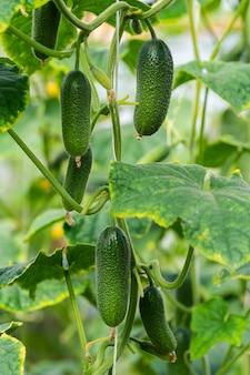 Eine gruppe natürlicher grüner organischer gurken wächst auf einem gartenbett. sommer und frisch gesundes öko-gemüse im gewächshaus auf landwirtschaftlichem bauernhof vor der ernte bei sonnigem wetter.