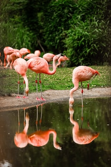 Eine gruppe rosa flamingos, die im teich, oase des grüns in der städtischen landschaft jagen. flamingos im zoo