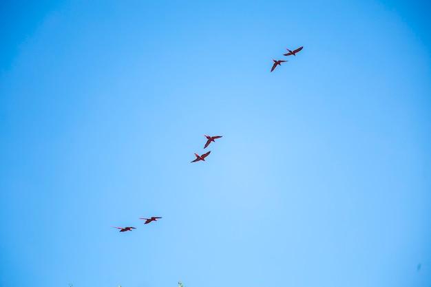 Eine gruppe von aras fliegt als paar über kopf in der stadt copan ruinas in honduras