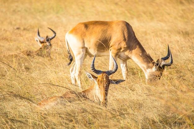 Eine gruppe von elchen, die im masai mara-nationalpark essen, wilde tiere in der savanne. kenia