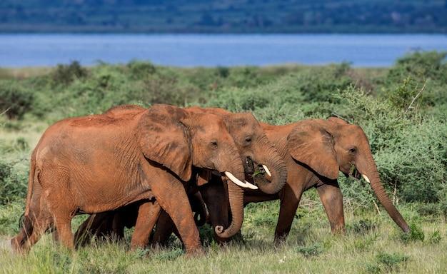 Eine gruppe von elefanten geht mit vögeln auf dem rücken im merchinson falls national park über das gras