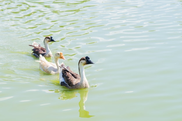 Eine gruppe von enten schwimmt auf dem wasser