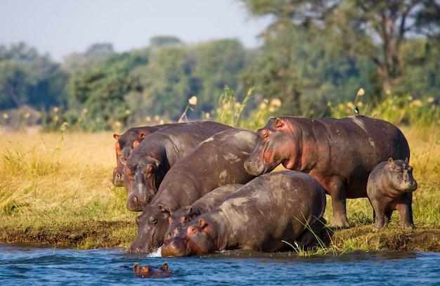 Eine gruppe von flusspferden steht am ufer