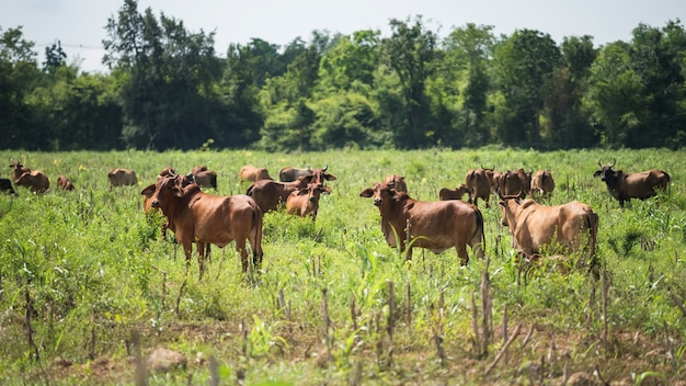 Eine gruppe von kühen steht und weidet auf der örtlichen wiese des vorortes der provinz kanchanaburi