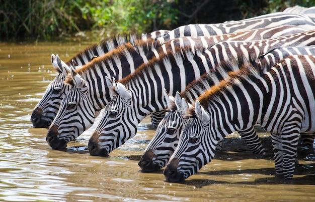 Eine gruppe von zebras trinkt wasser aus dem fluss. kenia. tansania. nationalpark. serengeti. maasai mara. Premium Fotos