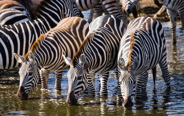 Eine gruppe von zebras trinkt wasser aus dem fluss. kenia. tansania. nationalpark. serengeti. maasai mara.