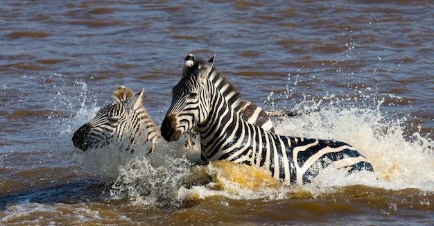 Eine gruppe von zebras überquert den fluss mara. kenia. tansania. nationalpark. serengeti. maasai mara.