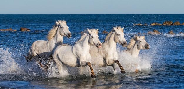 Eine gruppe weißer camargue-pferde, die im wasser laufen