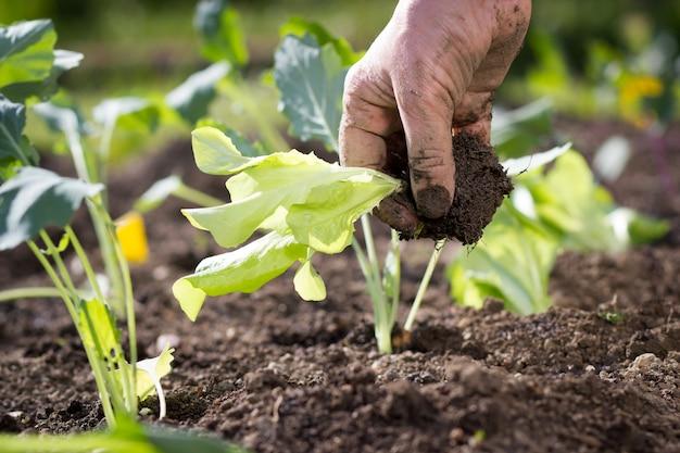 Eine hand der älteren frau, die etwas gemüse auf ihrem riesigen botanischen garten pflanzt