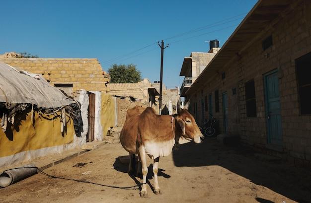 Eine heilige kuh in einer straße von indien